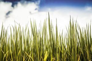 gras en blauwe lucht foto