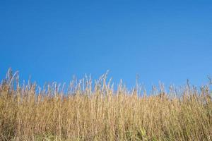 gras tegen een blauwe hemel foto