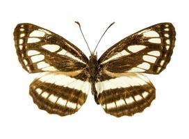 pallas sailer vlinder foto
