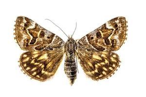 de nachtvlinder op witte achtergrond foto