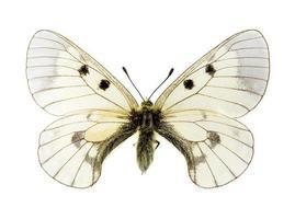 bewolkte apollo vlinder foto