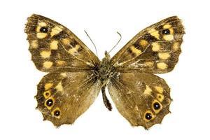 gespikkelde houten vlinder foto