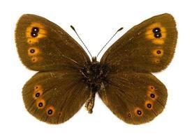 arran bruine vlinder foto