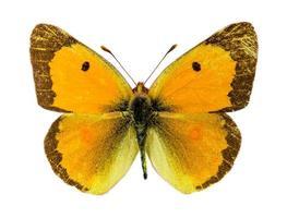 gemeenschappelijke vertroebelde gele vlinder foto