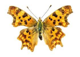 komma vlinder op witte achtergrond foto