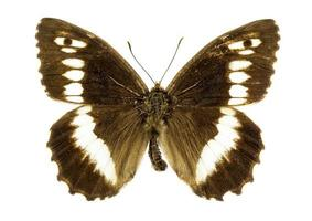 rock vlagzalm vlinder foto