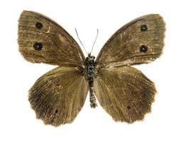dryade vlinder op de witte achtergrond foto