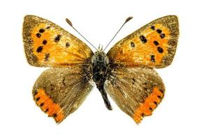 gewone koperen vlinder foto