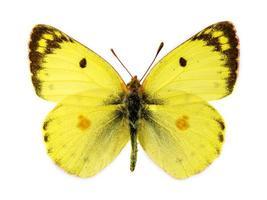 bergers vertroebeld gele vlinder foto