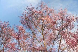 roze bloesem boom en blauwe hemel foto