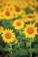 felgele zonnebloemen foto