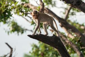 aap op een boomtak foto