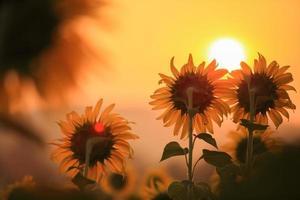 zonnebloemen en zonsopgang foto