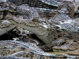 close-up van een groep krokodillen