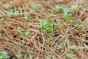 landbouw groeien van planten uit de bodem foto