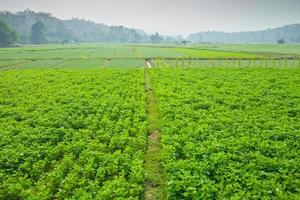 groen veld van choy sum
