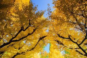 gele bomen tegen een blauwe hemel foto