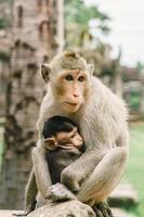 apen in angkor wat in kambodja foto