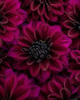 plat leggen van weelderige bordeauxrode bloeiende dahlia bloemen in kleur