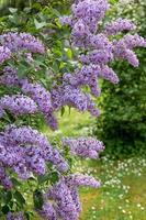 weelderige paars bloeiende lila struik in de zomer in Letland