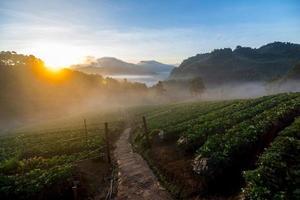 aardbeienveld in de ochtend foto