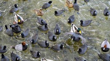 een zwerm zwarte watervogels op een meer