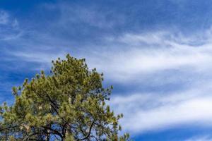 een enkele dennenboom met een blauwe zonnige hemel op de achtergrond