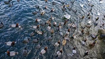 een kudde eenden op een meer
