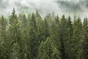 mistige boszicht met vuren bomen na regen in gauja national park in letland
