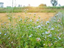 blauwe wilde bloemen in een veld met witte lucht foto