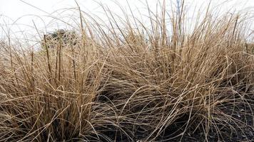 geel droog gras foto