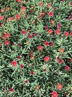 rode bloemen op een vetplant foto