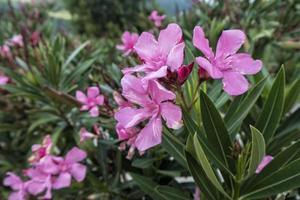 roze oleander bloemen
