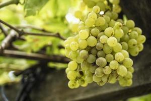 druiven aan een wijnstok foto