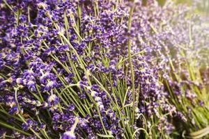 lavendelbloemen in de zon foto