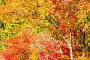 prachtige esdoorns in de herfst foto