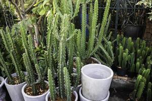 cactussen in plantenpotten