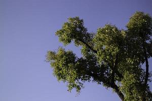 weelderige boom op violette hemel foto