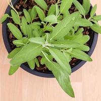 bovenaanzicht van een ingemaakte salieplant foto