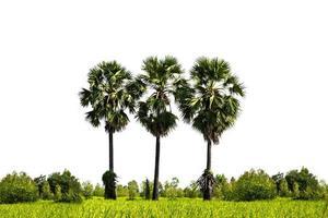suiker palmbomen geïsoleerd op een witte achtergrond foto