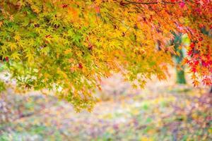 prachtige esdoornbladboom in de herfst foto