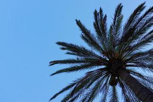 een palmboom in en blauwe lucht in de lente foto