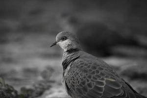 zijaanzicht portret van duif foto
