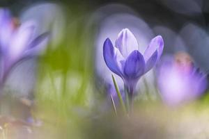 paarse krokus bloeit overdag foto
