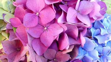 blauwe, roze en gele hortensia's foto