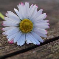 mooie madeliefjebloem in de tuin in de lente foto
