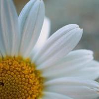 mooie witte margrietbloem in de lente foto