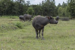Thaise buffels in het veld foto