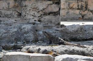 leguaan op enkele ruïnes in Mexico
