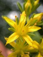 gele narcissen die overdag in bloei staan